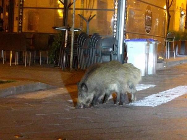 Борейко прокомментировал возвращение диких животных в города Европы
