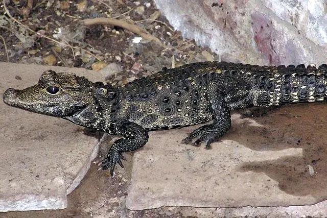 В Чехии из дома заводчика сбежал крокодил