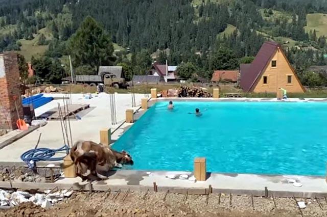 В Карпатах в бассейн с отдыхающими запрыгнула корова, видео